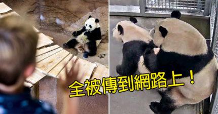 前戲做2年!2隻大熊貓「總算搞起來」 動物園太嗨「私密照」全上傳臉書