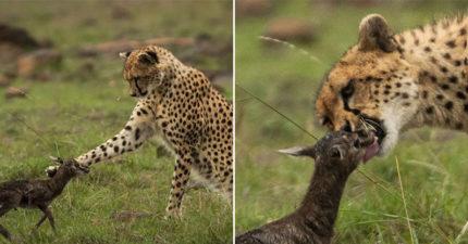 誤認天敵是媽媽!獵豹「被激發母愛」狂舔蹬羚寶寶 下秒「超大反差」嚇壞人