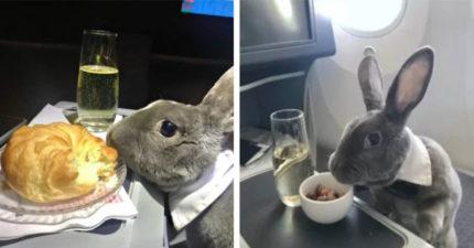 瘋狂亞洲兔兔「搭商務艙」飛回日本 空姐準備「香檳美食」狂讚:模範乘客!