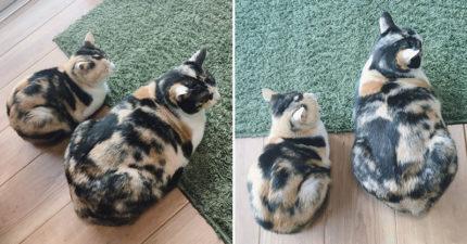 花貓姐妹「體型差太多」讓主人困擾 貓奴傻眼:明明是雙胞胎!