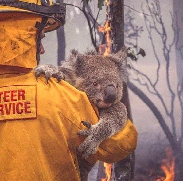 野火讓無尾熊逼近滅絕!澳洲醫院推「每月贊助計畫」就能「認養無尾熊」