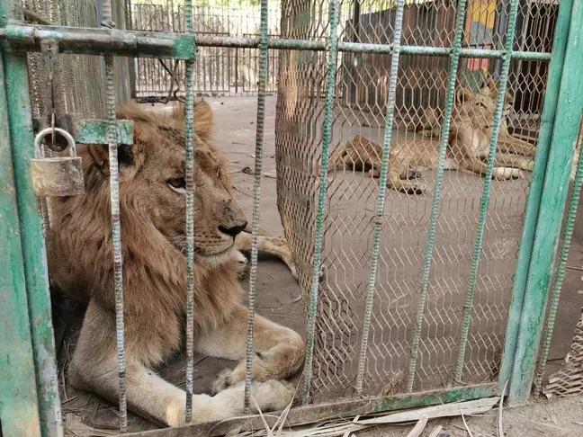 蘇丹動物園「獅子餓到只剩骨架」背影震驚國際 業主太缺錢「已幾週沒放飯」
