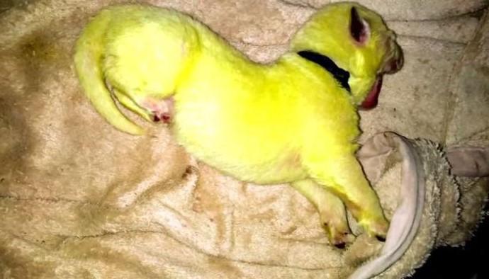 狗媽生出超奇特「螢光色狗寶寶」 飼主送醫發現竟是「大便惹禍」!