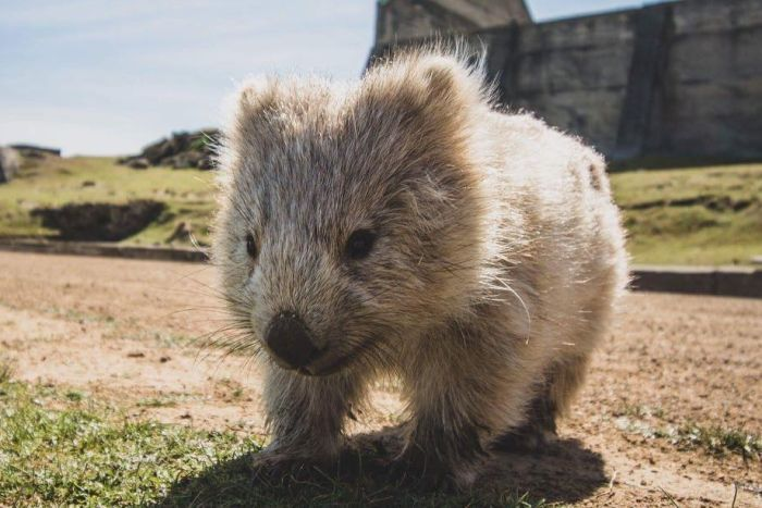 澳洲袋熊意外變「動物英雄」 興趣是狂挖地穴剛好變「火災避難所」!