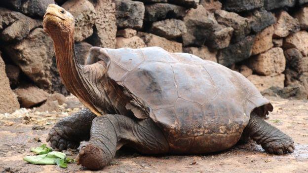 加拉巴哥象龜被丟到島上助孕 讓全部母龜都懷孕「狂生800隻」完成任務榮退