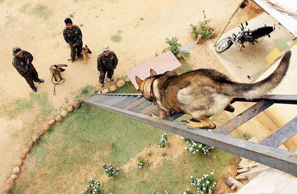 26個「為人們貢獻一輩子」的工作犬 牠倒在「戰友墓前」讓人心碎QQ