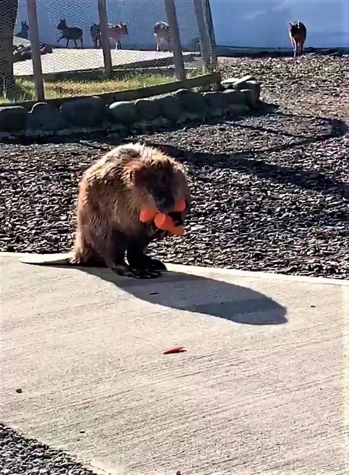 河狸媽討紅蘿蔔「多到快抱不動」彎腰努力走 網笑翻:堅持不買袋子的我