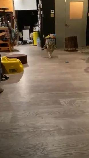 貓頭鷹跑步「自己拐到腳」下秒尷尬裝沒事 網爆笑:影片有魔性!