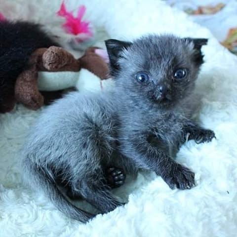 灰色小奶貓「偷喝神奇墨水」長大直接變「超帥黑豹」還出書記錄貓生!