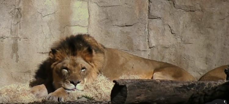 獅子夫妻初次見面就「離不開對方」 朝夕相處12年「相隔10天」一起上天堂