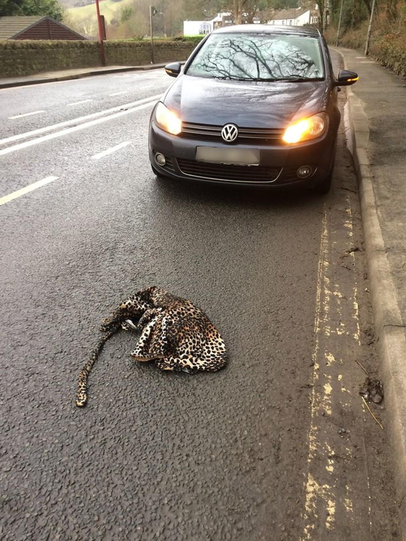 暖爸驚見「豹倒在路中間」馬上停車 小心查看「怕被反撲」下秒劇情大逆轉!