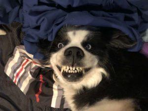 14隻「露牙齒就想讓人牽回家」的超萌狗狗 他:偶素鯊魚!