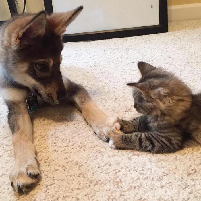 哈士奇和呆萌貓「跨族群友誼」被讚翻 主人揭甜蜜真相:第一眼就認定彼此❤