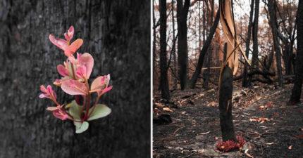 澳洲大火把森林燒光 2攝影師在黑樹幹中找到「希望萌芽」
