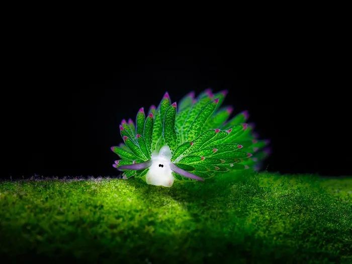 無辜眼超萌!科學家發現「海底小羊」:極罕見「光合作用動物」