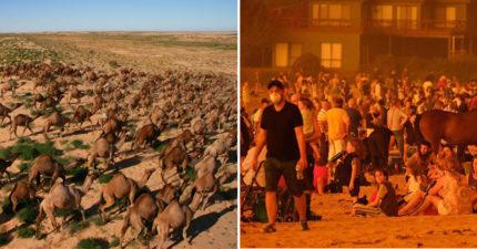 澳洲政府忍痛屠「1萬隻」野生駱駝 無奈嘆:牠們會喝光水...