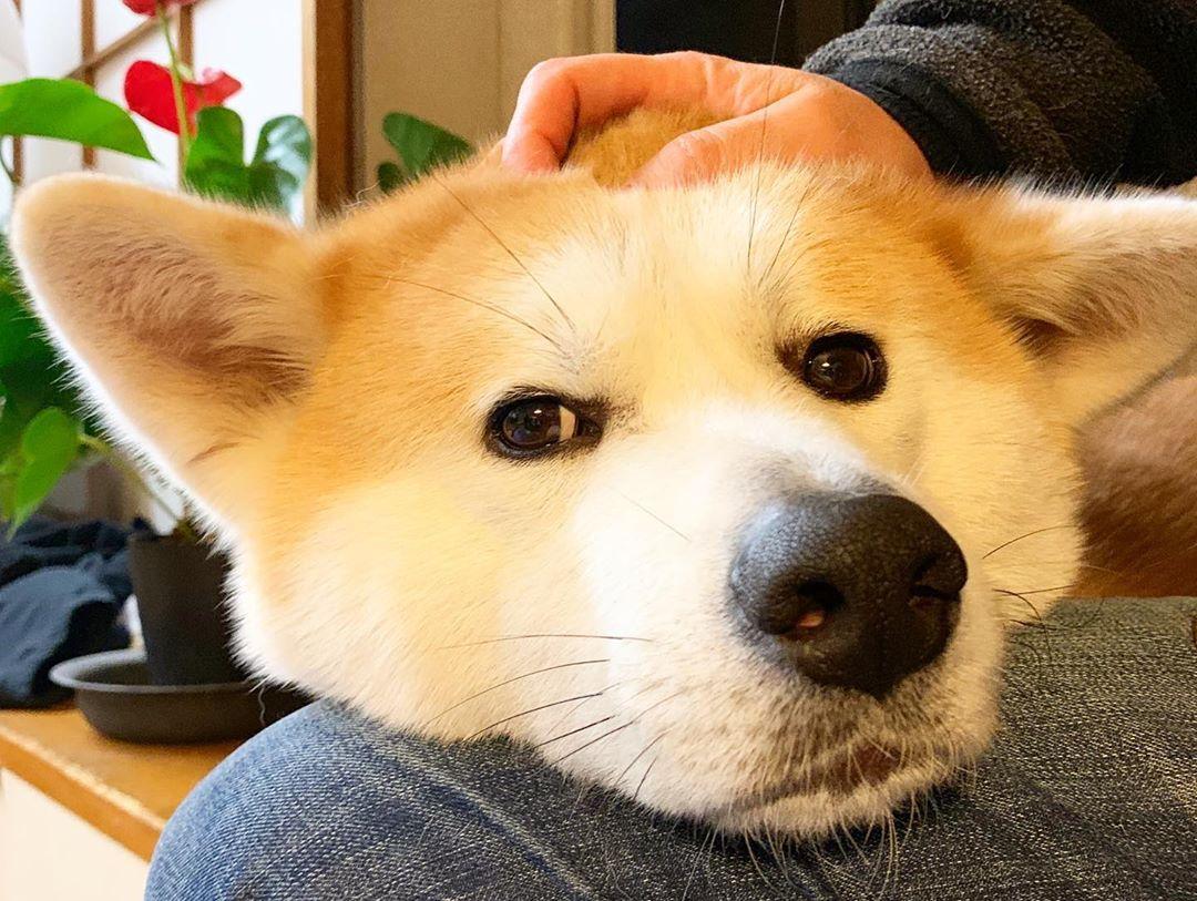 「柴犬臉臉被捏壞」系列圖爆紅 三層下巴「晃出爆萌新高度」超療癒❤