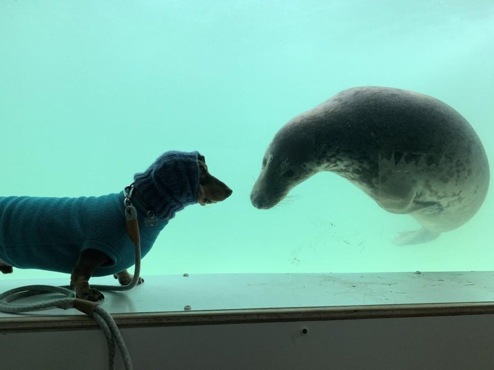 臘腸犬「巧遇海豹」秒變摯友!隔著玻璃「互動20分鐘」網全融化:最可愛閨蜜❤