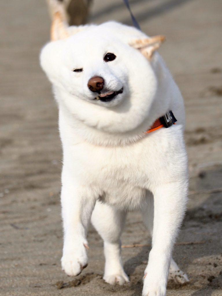白嫩肥柴犬「三層肥肉隨風狂甩」爆紅 網笑翻:是年糕做的!