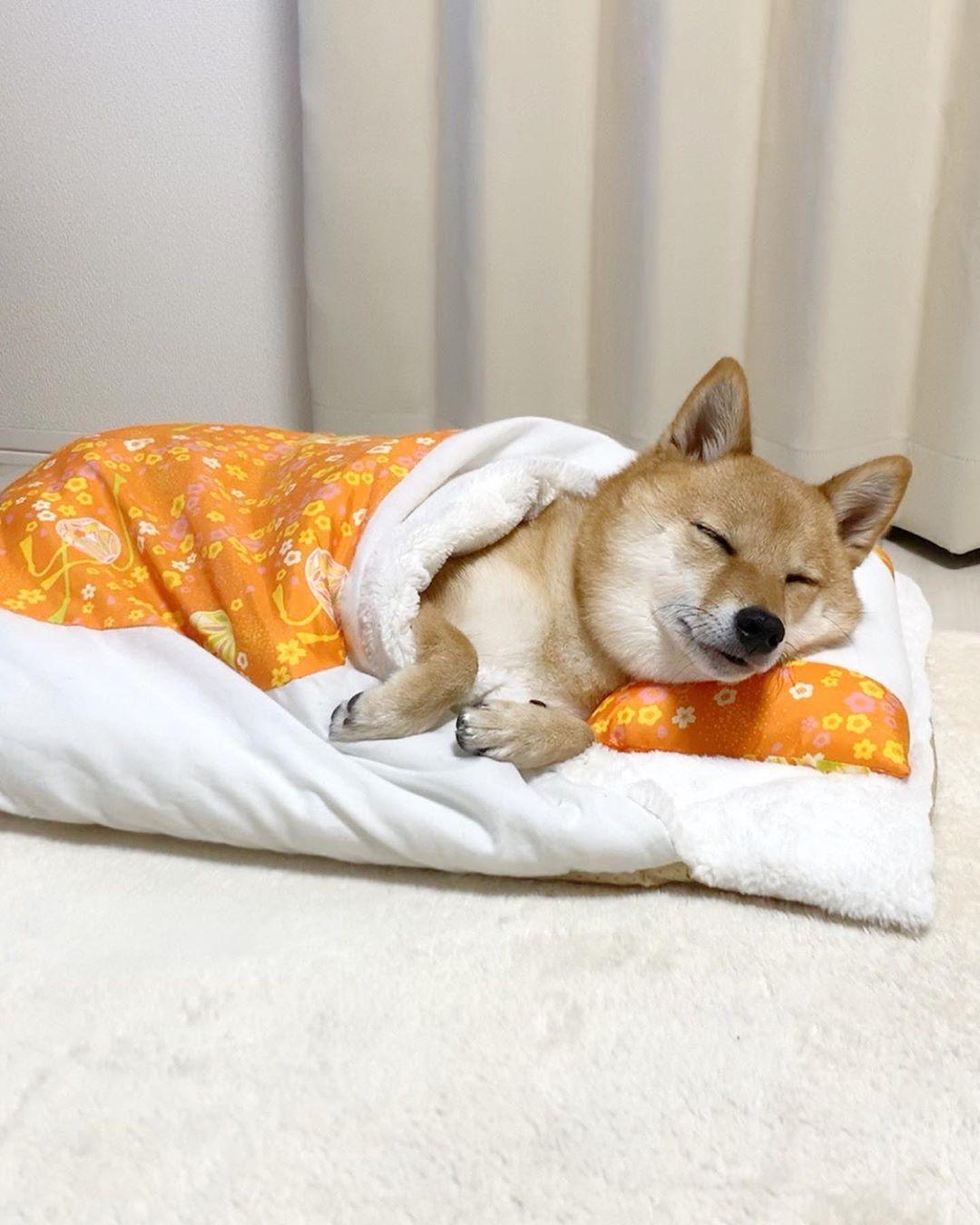 睡遍各種的姿勢「懂睡豆柴」IG爆紅 學主人「抱娃娃睡覺」萌翻所有粉絲!