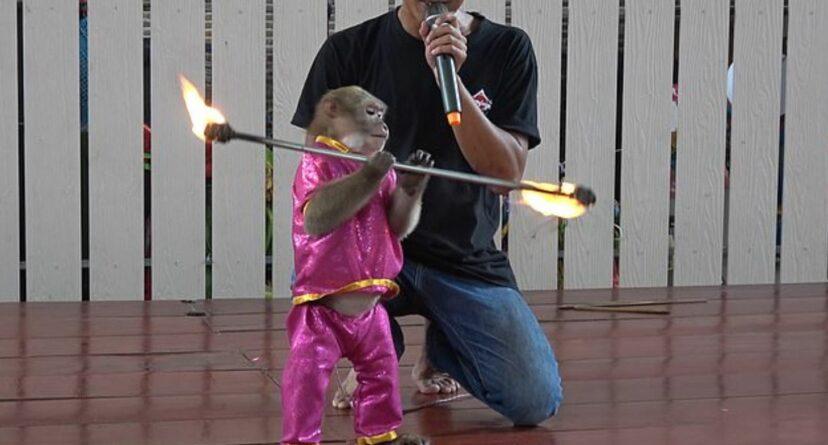 泰動物園「逼猴子化妝」娛樂觀眾 脖子綁鐵鍊「跳火舞」動保團體爆怒!