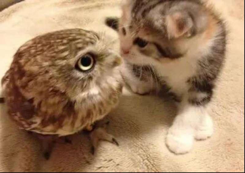 網分享「養貓頭鷹日常」萌到像小貓 見陌生人「嚇到大變形」網心動:好想養❤