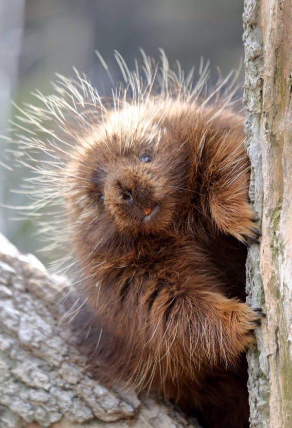 豪豬寶寶「未成形軟Q毛」爆紅 雖然長得超可愛但攻擊性超強!