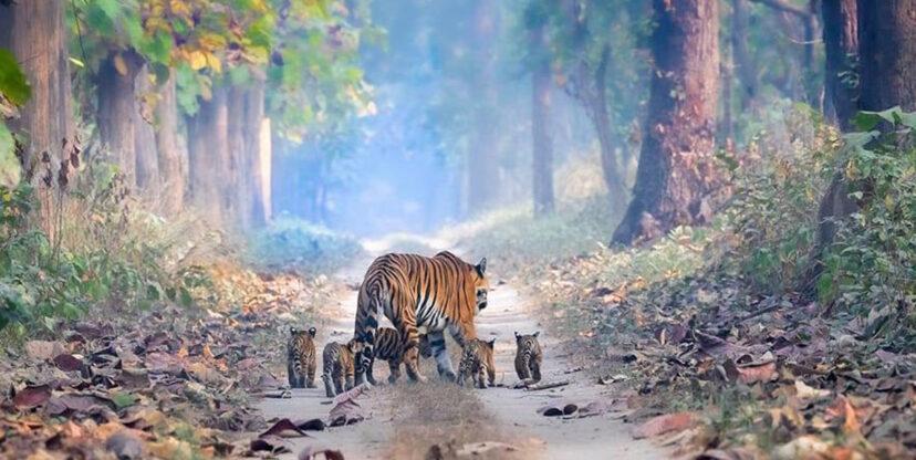 虎媽帶「5隻寶寶穿越森林」照片爆紅 專家大讚:印度保育很成功!