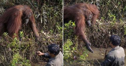 男子在河中清理毒蛇 暖心人猿卻「急伸手」:別怕偶來救你!