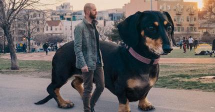 如果你家臘腸狗變大?超暖主人創造「巨大臘腸」:實現每隻小狗的幻想!