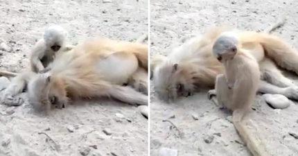 母猴觸電過世!猴寶寶「守在身邊」不肯離開 最後「對媽媽貼臉道別」所有人淚崩