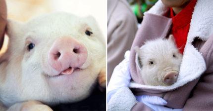 農場缺「小豬抱抱員」夢幻職業徵才中 每週「只要3小時」工作是幫揉肚肚!