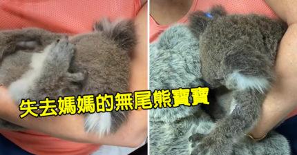 無尾熊寶寶因野火「痛失媽媽」 牠看見大玩偶「下意識緊抱」超鼻酸!