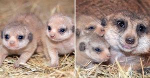 超可愛「狐獴寶寶」誕生!出生自帶「超深邃雙眼皮」萌到心臟爆擊❤