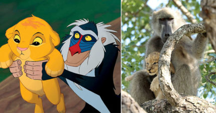 《獅子王》經典畫面真實上演 拉飛奇抱著辛巴「飛奔逃難中」全被捕捉!