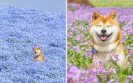 攝影師媽媽拍出「幸福柴柴」美照 超夢幻「花海躲貓貓」整系列都能當桌布!