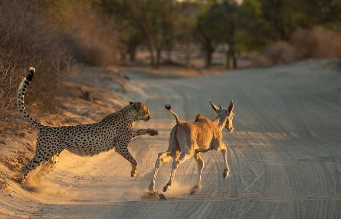 攝影師開車到一半「幸運力爆發」親眼目睹獵豹「騰空打獵瞬間」