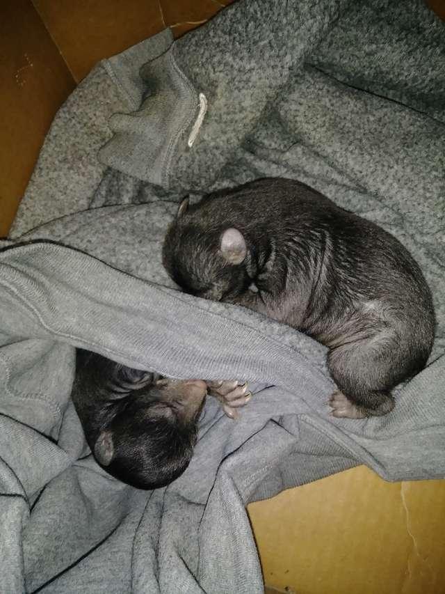暖男路邊撿「2隻幼犬」帶回家照顧 仔細看「小爪子」才發現撿到黑熊!