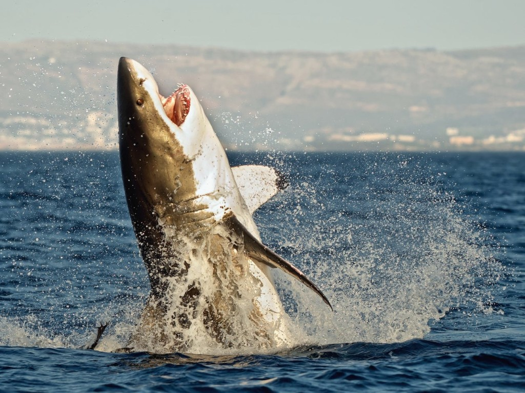 連鯨魚也有「隔代教養」!小虎鯨「有阿嬤陪」存活率高4倍