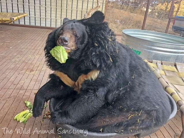 胖熊被關「路邊動物園」任路人亂餵食 「體重超標2倍」被救援後現在減肥中!