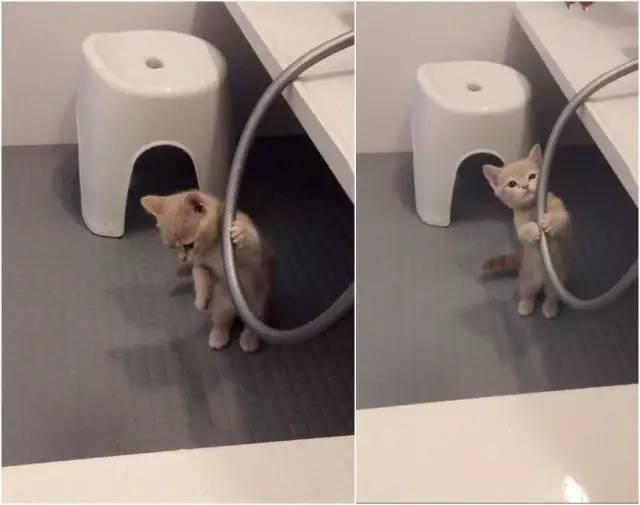 超討厭洗澡「抱水管求饒」小萌貓爆紅 長大後「用同一招繼續騙」!