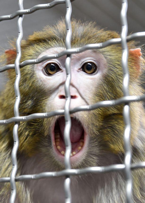 上千隻猴將被注射「武漢肺炎病毒」承受苦痛 全為了「人類疫苗」研發
