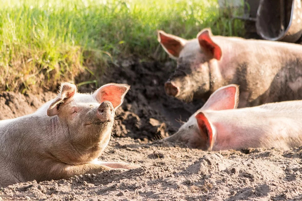 又見非洲豬瘟!金門海漂「3中國豬」就地焚燒消毒:檢驗為陽性