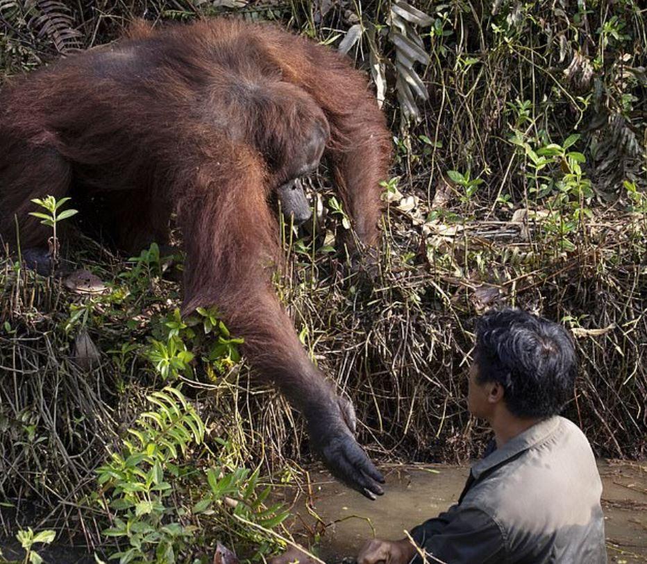 男子在河中清理毒蛇 暖心人猿「以為他溺水」急伸出援手:快上來!