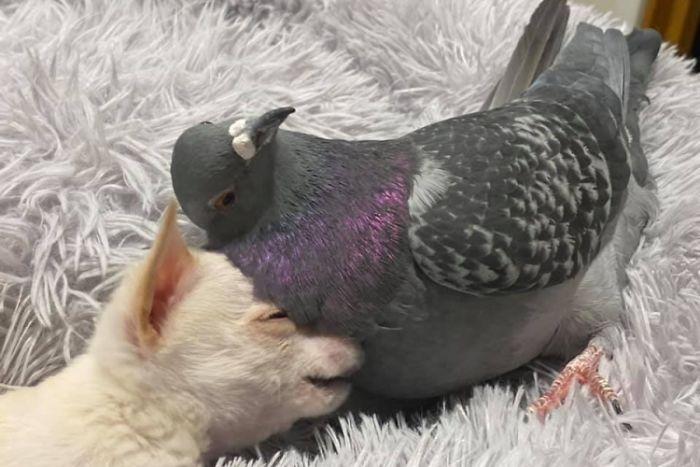 吉娃娃和呆萌鴿「天生都不能走」變好麻吉 最愛一起在地毯耍廢!