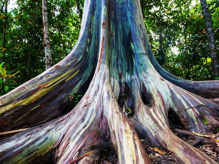 保證沒修圖!菲律賓的「夢幻彩虹樹」就像童話成真 樹幹「自然變七彩」遊客搶看