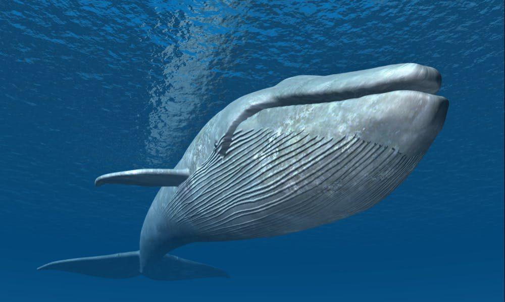 台灣「首見藍鯨」竟成屍體!「肌肉全化掉」專家無奈:至少餓了3個月