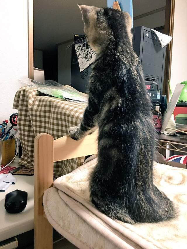 主人實測「柴柴VS貓咪」到底哪隻比較長 毛孩「同時伸展」結果超意外!