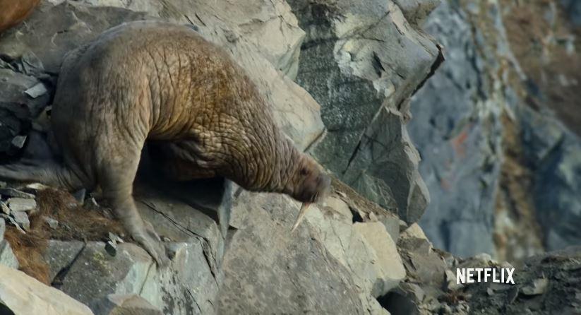 冰層全融化!海象被迫上岸「一隻隻跳崖」 攝影團隊拍到哭:都是人類害的