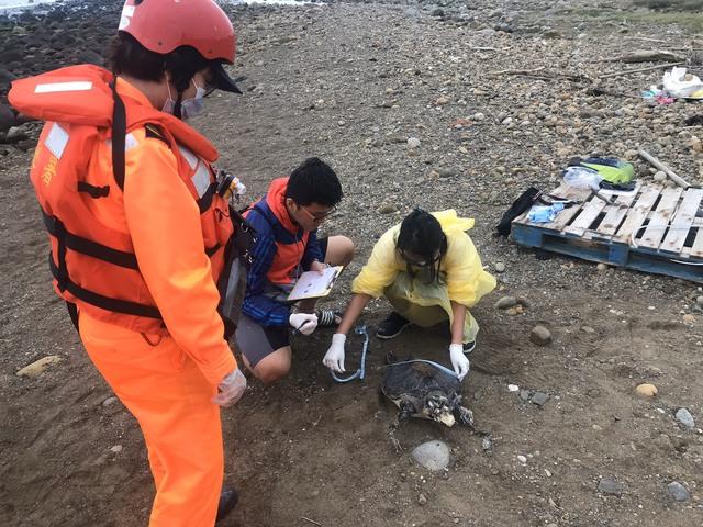 台灣東北角「7隻綠蠵龜」斷氣被沖上岸 專家與海巡隊難過嘆:漁網害的!